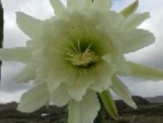 san-pedro-bloem