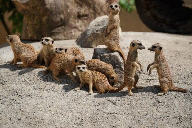 Meerkat family speaking meerkat language