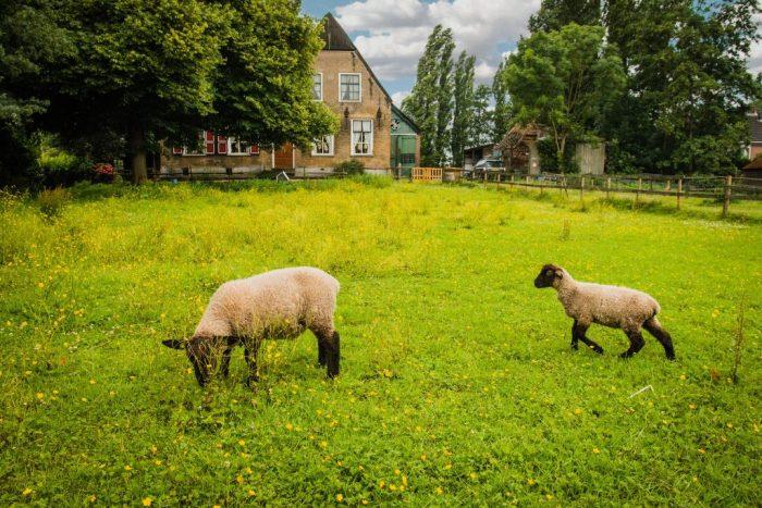 Schapen die op de boerderij rondlopen