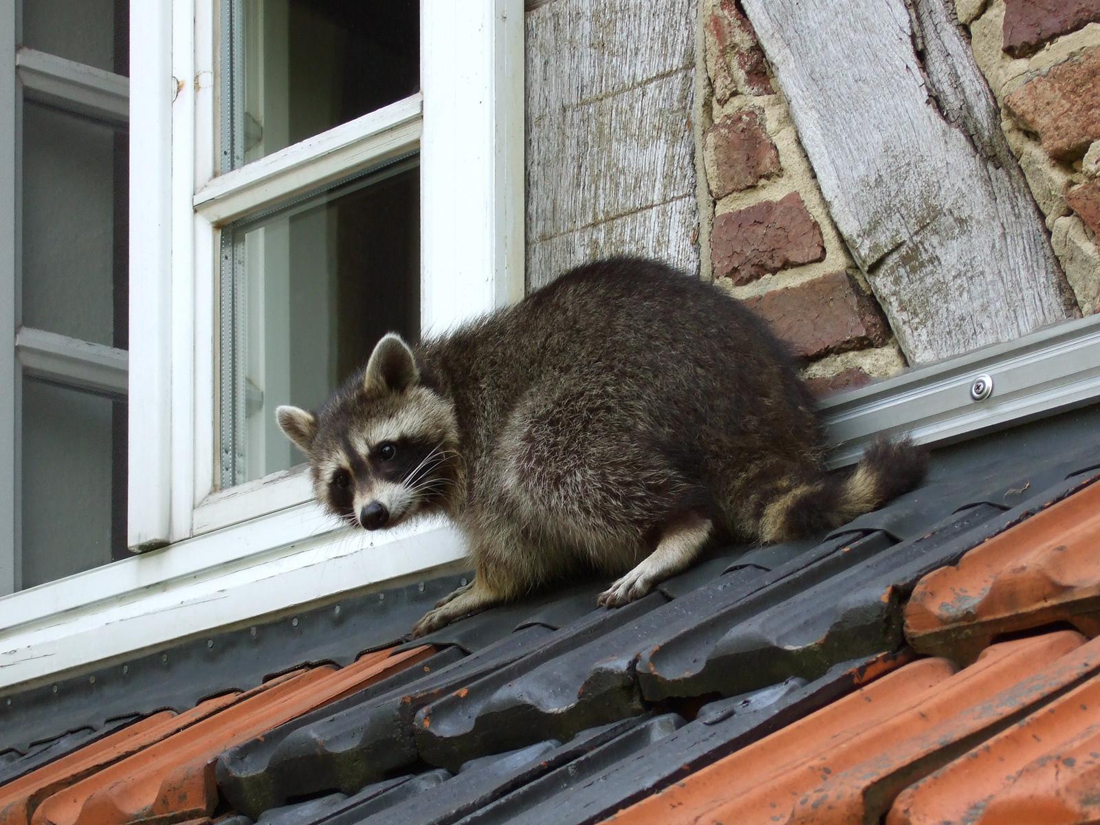 Raccoons in Brooklyn