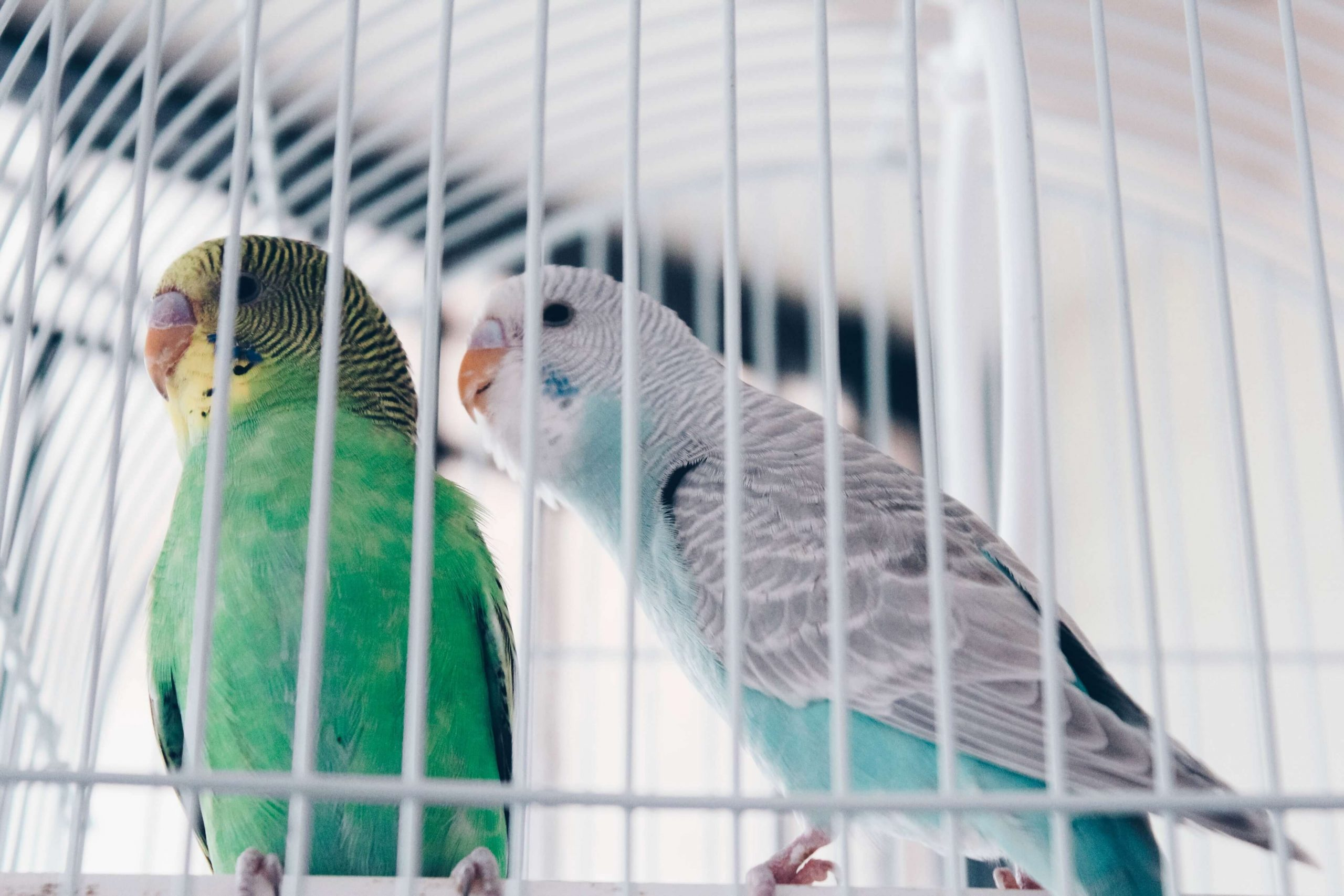 Tips Membeli dan Merawat Burung Parkit