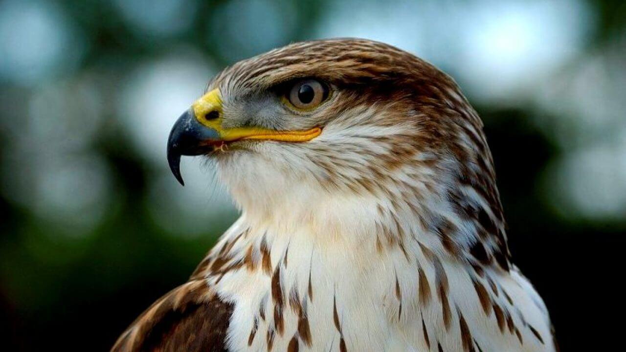 7 Daftar Harga Burung Elang Berdasarkan Jenis Dan Ciri Cirinya