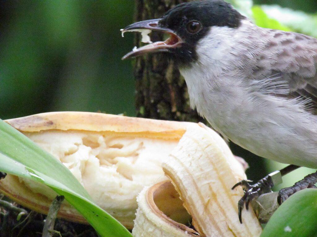 Makanan Burung Kutilang untuk Perkembangan Burung