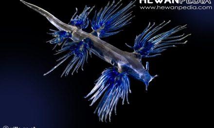 Siput Samudra Biru