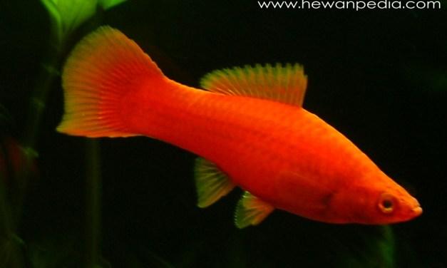 Ikan Ekor Pedang