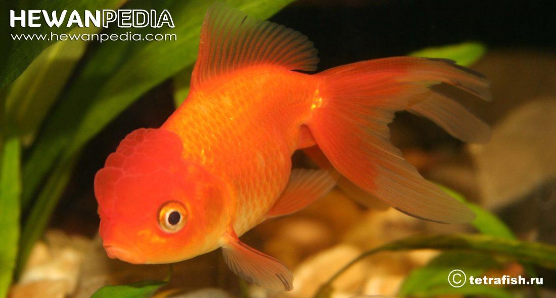 Ikan Koi Oranda