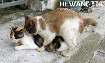 Cara Mengawinkan Kucing