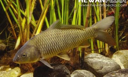 Panduan dan Cara Budidaya Ikan Mas