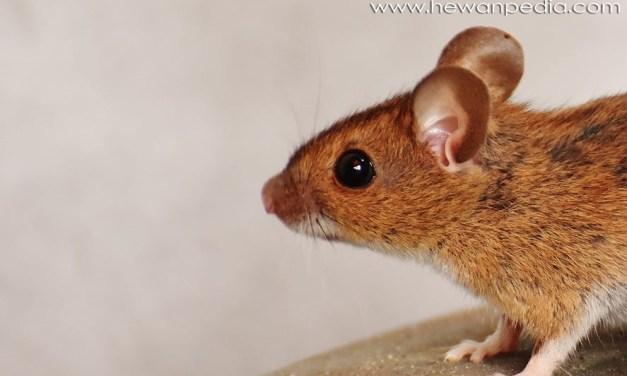 11 Cara Terbaru dan Terampuh Mengusir Tikus di Rumah Anda