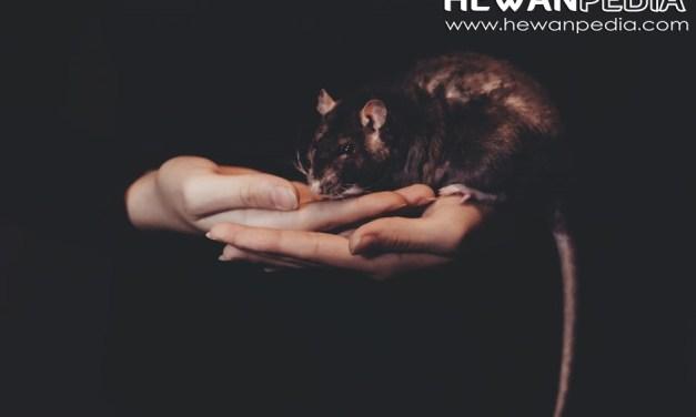 8 Cara Ampuh Mencegah dan Mengusir Tikus dari Rumah