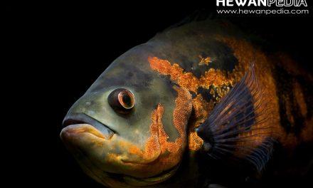 3 Hal Penting yang harus diperhatikan dalam Merawat Ikan Oscar