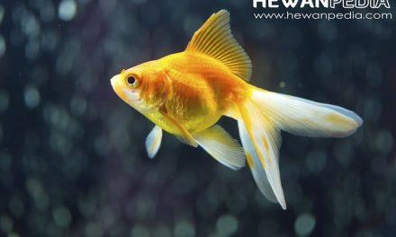 4 Makanan Ikan Koki supaya Sehat dan Cepat Besar