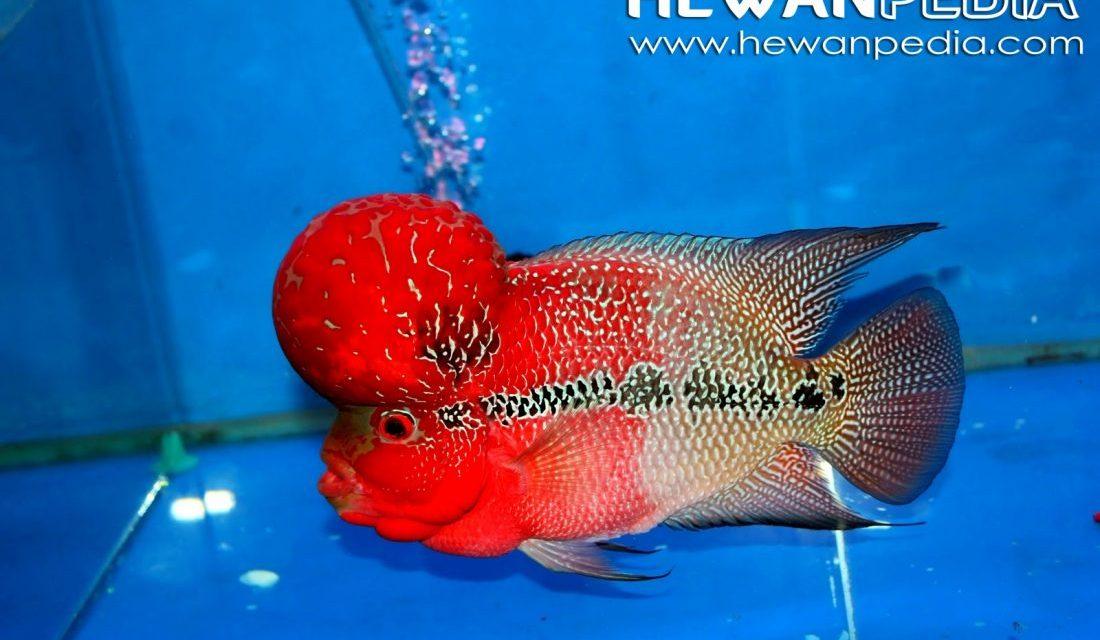 6 Tahapan Cara Memelihara Ikan Louhan Hewanpedia