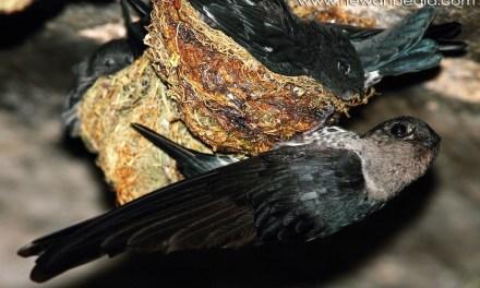 Burung Sriti