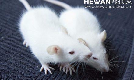 Cara Lengkap dan Propek Budidaya Tikus Putih yang Menguntungkan