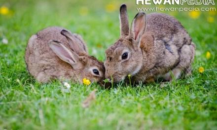 Ciri dan Karakterisitik Khusus Kelinci