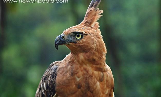 54 Jenis Burung Elang yang Ada di Indonesia