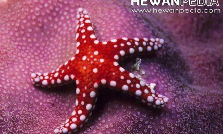 Bintang Laut serta Ciri-ciri dan Faktanya