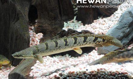Ikan Palmas (Ikan Naga)