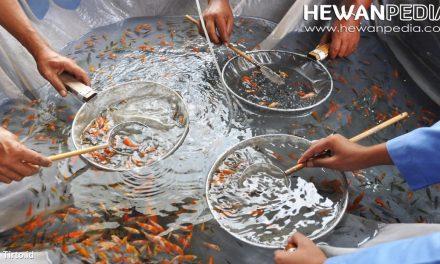 Panduan Lengkap Cara Budidaya Ikan Koi