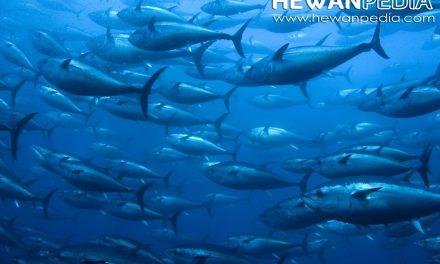Mengenal 7 Jenis Spesies Ikan Tuna