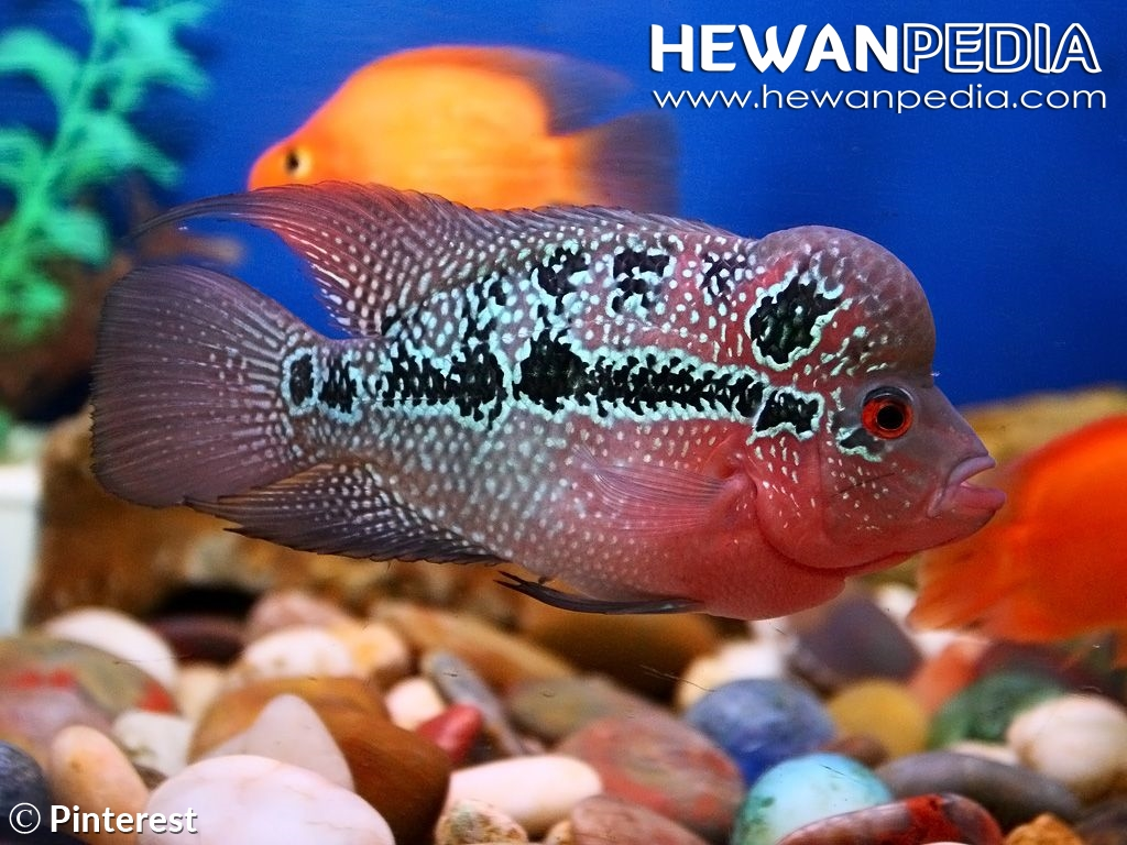 6 Cara Merawat Ikan Louhan Agar Tidak Cepat Mati