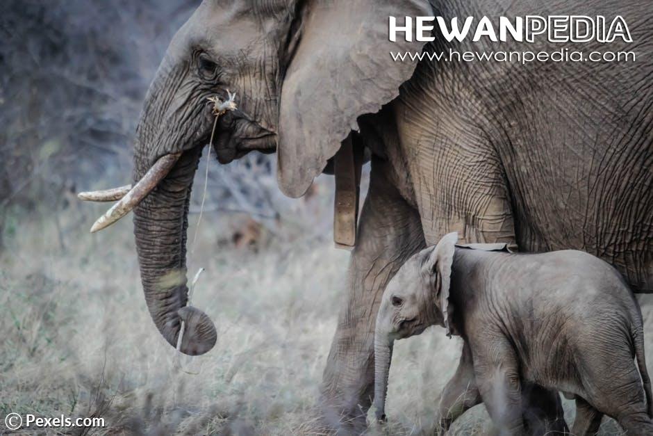 9 Fakta yang Wajib Diketahui Tentang Gajah