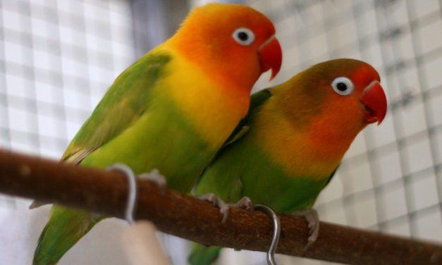 Foto Burung Lovebird #1