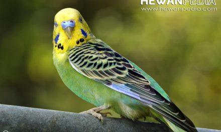 Daftar Harga Burung Parkit Terbaru Oktober 2017