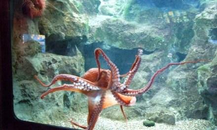 4 Panduan Cara Memelihara Gurita Laut di Akuarium
