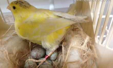 9 Langkah dan Info Cara Mengawinkan Burung Kenari yang Baik