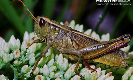 5 Serangga yang dapat Meloncat