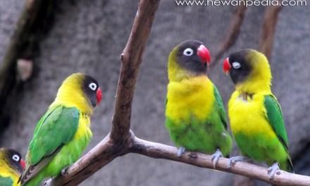 5 Fakta Menarik Burung Lovebird Mabung