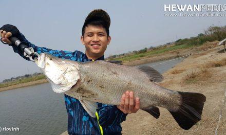 Ciri Lokasi Sungai Habitat Ikan Kakap Putih