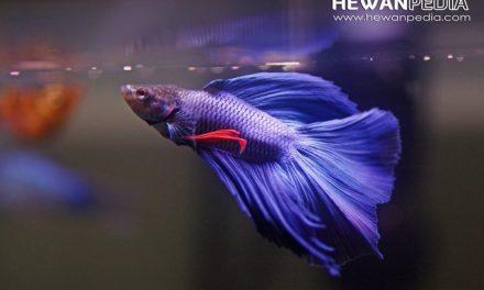 5 Makanan Ikan Cupang Terbaik agar Cepat Besar dan Sehat