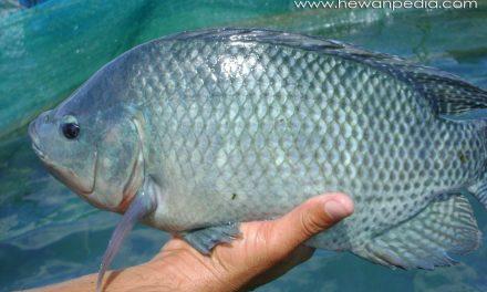 Fasilitas dan Peralatan Pembenihan serta Budidaya Ikan Nila