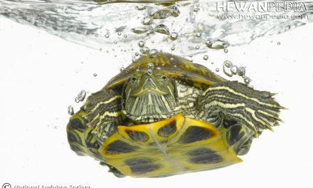 7 Jenis Makanan Terbaik untuk Kura-kura Brazil