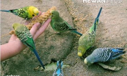6 Cara Khusus Memilih Makanan Burung Parkit