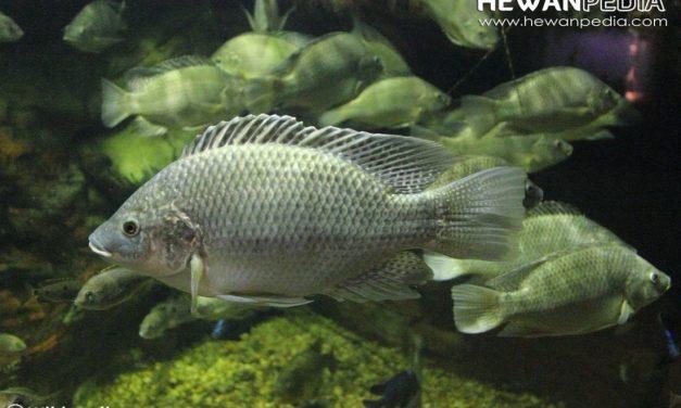 10 Ciri Utama Ikan Mujair