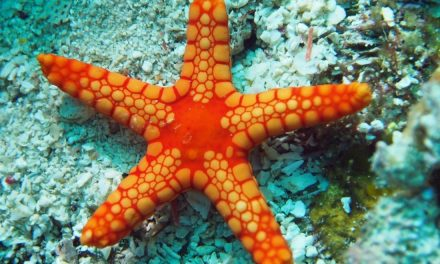 Cara Bintang Laut Melihat