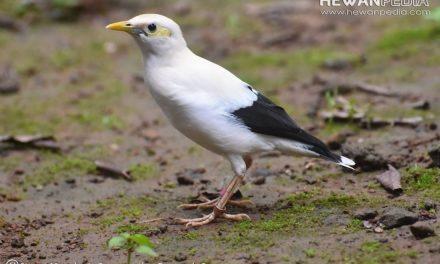 Cara untuk Ternak Budidaya Burung Jalak Putih