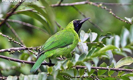 10 Kriteria Penilaian Lomba Burung Cucak Hijau Yang Membuat Juri Tertarik