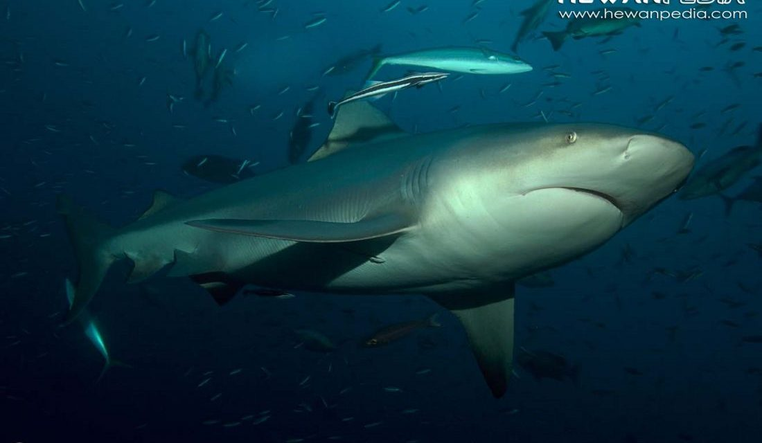 Fakta Menarik Hiu Banteng (Carcharhinus leucas)