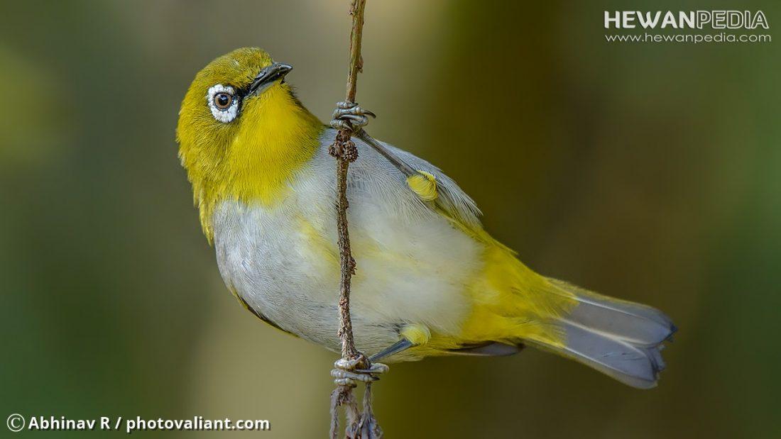 Burung Pleci dan Berbagai Faktanya