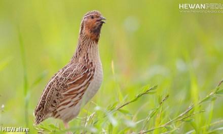 Panduan Lengkap Cara Budidaya Burung Puyuh untuk Pemula