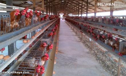 Panduan Lengkap Cara Berternak Ayam Petelur