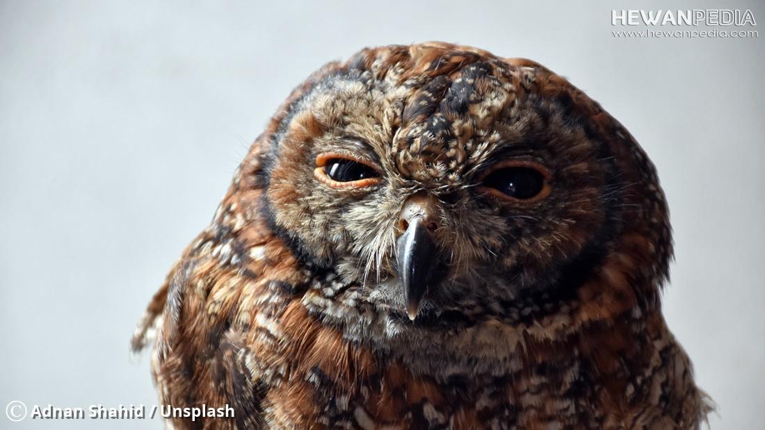 5 Ciri Dan Gejala Penyakit Pada Burung Hantu Hewanpedia