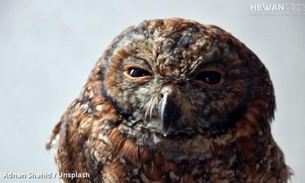 5 Ciri dan Gejala Penyakit Pada Burung Hantu