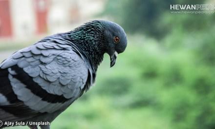Cara Merawat Burung Merpati Tinggian Juara