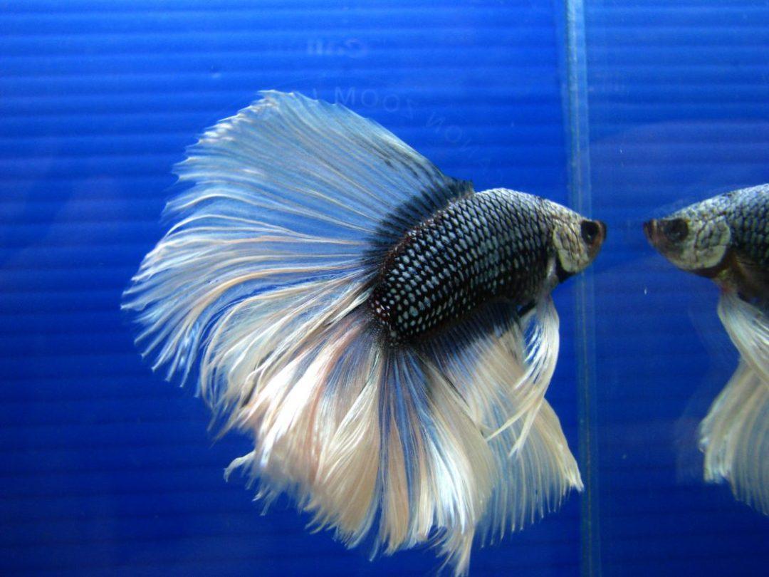 Foto Ikan Cupang Betta Fish Wallpapers HD